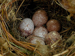 Photos Of Nests And Eggs For Bluebird Trail Monitors