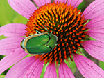 Green June Beetle on Coneflower