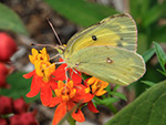 Orange sulphur on Butterflyweed