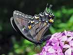 Eastern Tiger Swallowtail, dark form female