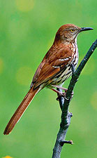 Brown Thrasher by Julia Flanagan