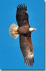 Bald Eagle by Julia Flanagan