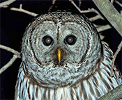 Barred Owl by Steve Tabone