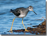 Greater Yellowlegs by Julia Flanagan