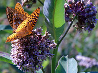 Milkweed with Great Spangled Fritillary