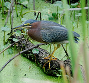 Green Heron by Julia Flanagan