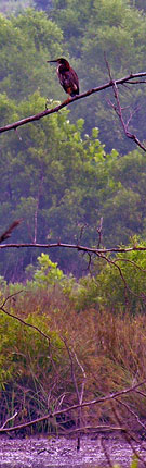 Green Heron at the Route 234 Wetland Bank