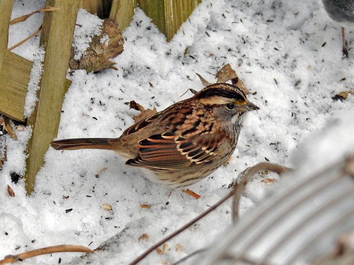 Song Sparrow - Backyard Bird List, Northern Virginia Suburbs