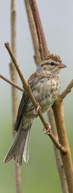 Chipping Sparrow by Julia Flanagan