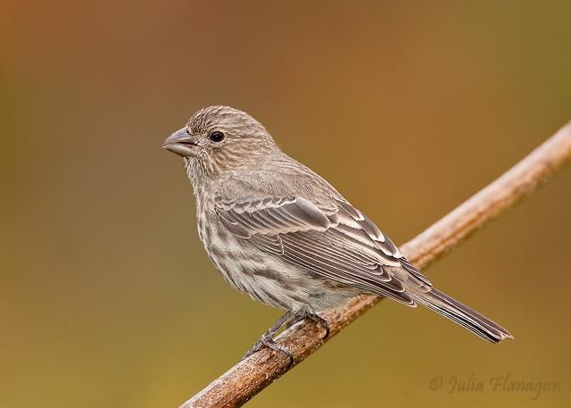 House Finch, Female
