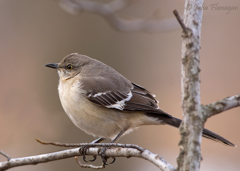 how to tell if a mockingbird is male or female