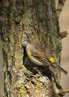 Yellow-rumped Warbler (female)