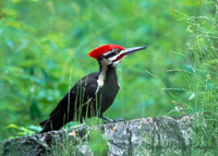 Pileated Woodpecker by Julia Flanagan