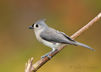 Tufted Titmouse by Julia Flanagan
