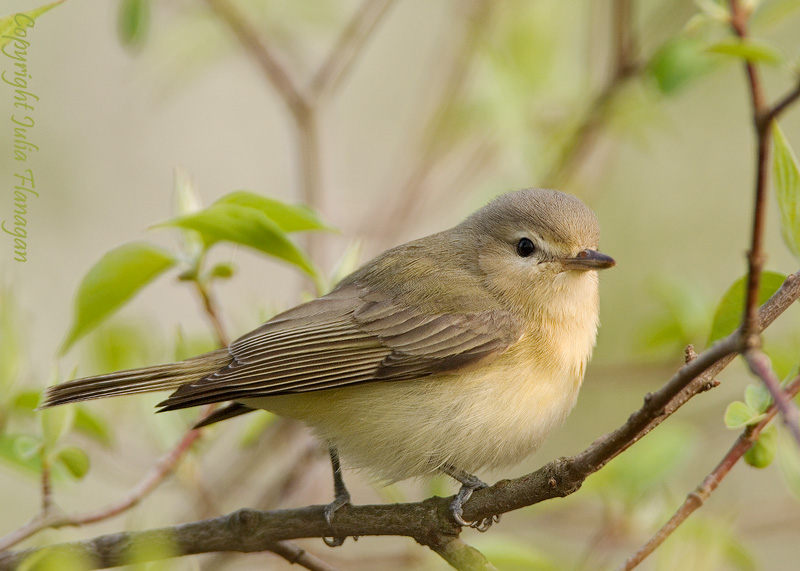 Vireo - photo#14