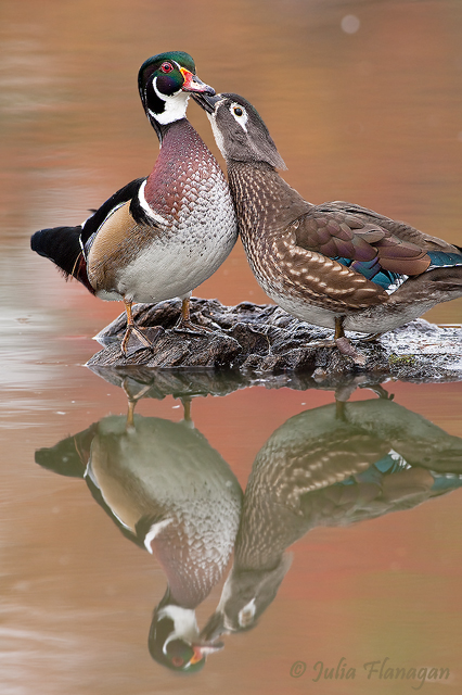 Wood Duck, male and female