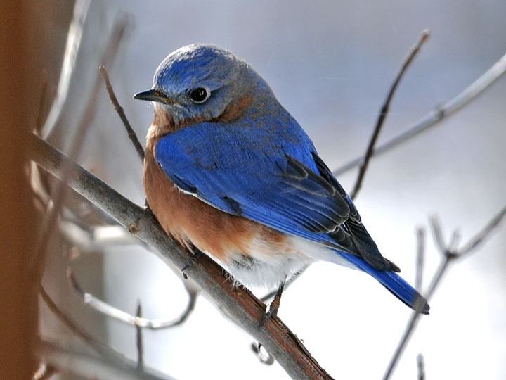 Blue bird - photo#23