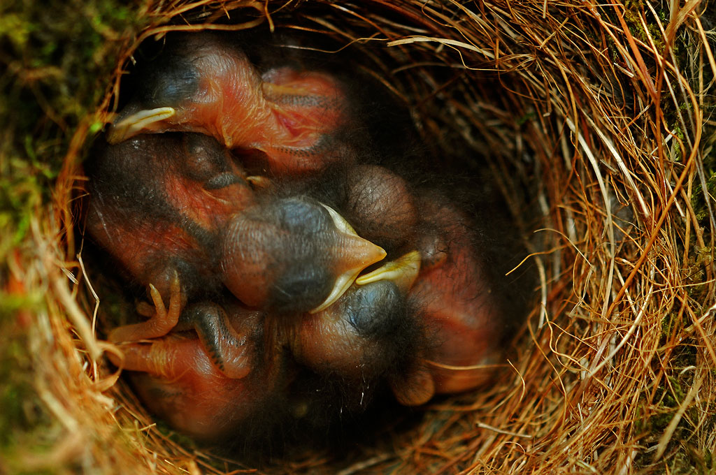 Newly hatched Bluebirds