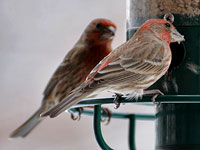 House Finch at the feeder
