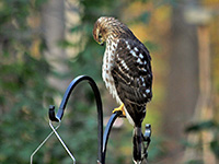 Backyard Bird List, Northern Virginia Suburbs