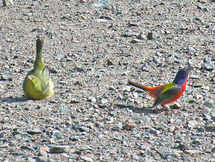 Painted Buntings courting