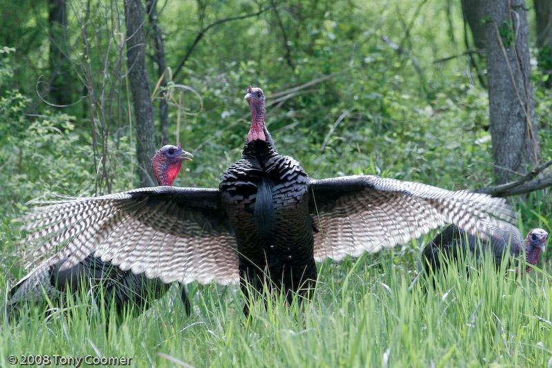 ... virginia wild turkey meleagris gallopavo the wild turkey is a large