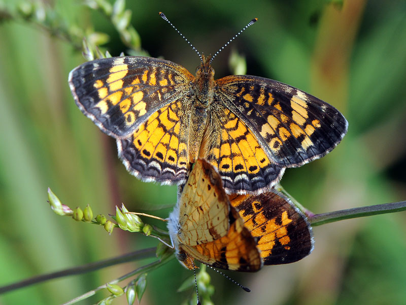 butterfly have an intricate network of black markings as well as black