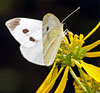 Cabbage White