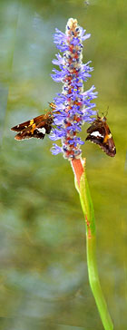 Silver-spotted Skippers on Pickerelweed