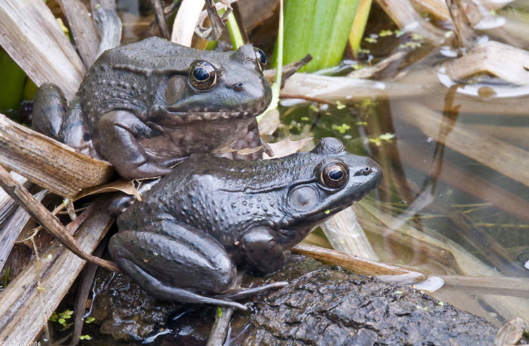 Frogs and Toads of Northern Virginia