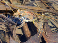 Northern Cricket Frog by Kim Hosen