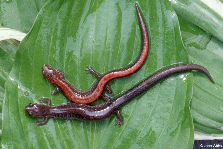 السلمندر وانواعهـ salamander..