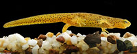 Res-spotted Newt