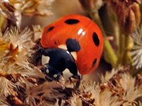 Seven-spotted Lady Bird Beetle