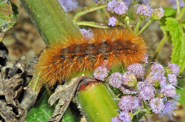 Virginian tiger moth caterpillar - photo#21