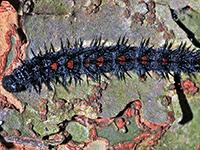 Caterpillars Of Northern Virginia