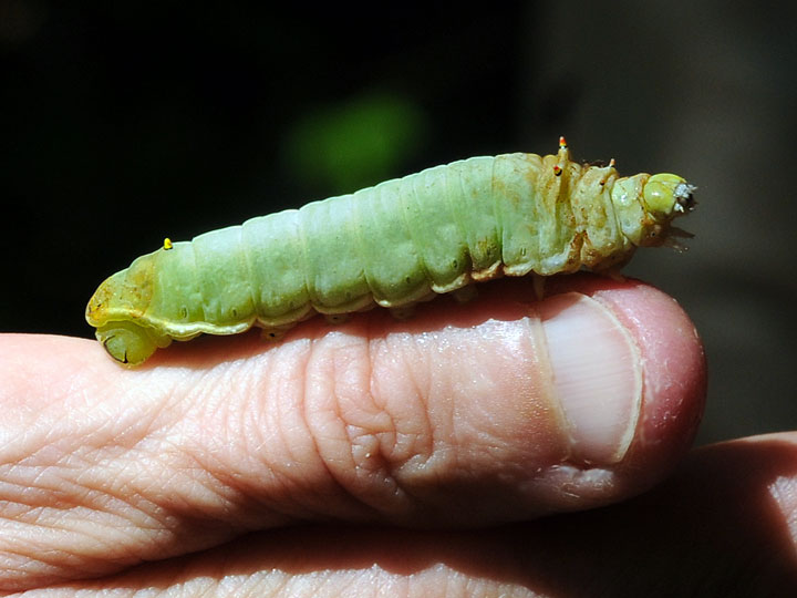 Sweetbay Silkworm Moth Caterpillar