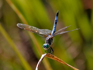 Blue Dasher cooling off