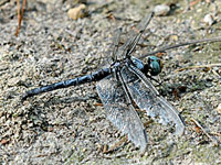 Great Blue Skimmer, adult male