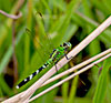 Eastern (Common) Pondhawk