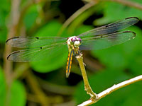 Great Blue Skimmer, immature male