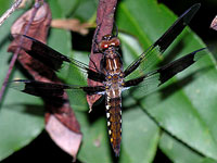 Common Whitetail Dragonfly, Juvenile Male