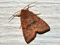 Bicolored Sallow Moth