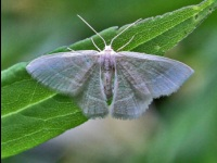 Blackberry Looper Moth