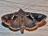 Common Looper Moth