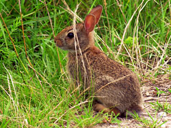 Cottontail at the Occoquan Bay NWR